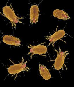 dust mites in carpet fibers